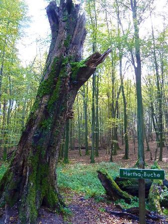 Nationalpark Jasmund Königsstuhl: Herthabuche