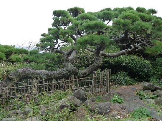 Hatsushima: こんな松があちこちで見られました。