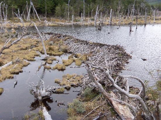 Parque Nacional Tierra del Fuego: DIQUE DE CASTORES