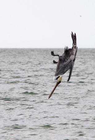 Delnor-Wiggins Pass State Park: Pelican diving