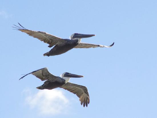 Delnor-Wiggins Pass State Park: Pelicans overhead