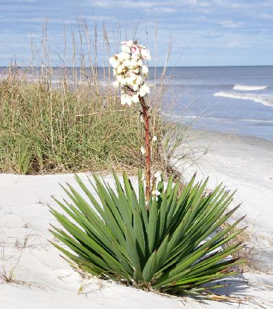 Hampton Inn & Suites Brunswick: Jekyll Island (sago palm?)