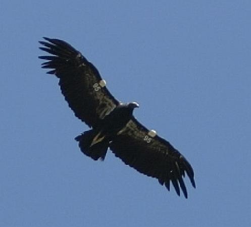 Baja Dark Skies Inn: condor in flight
