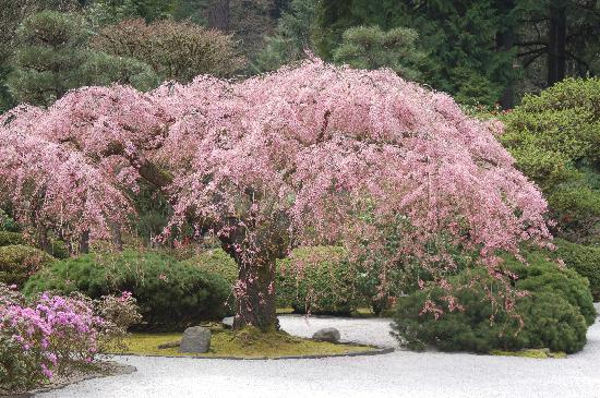 Spring blossoms picture of portland japanese garden portland tripadvisor for Portland japanese garden free day