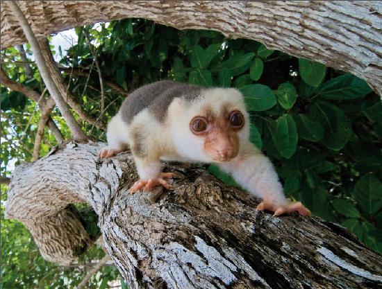 el animal cuscús en raja ampat biodiversity