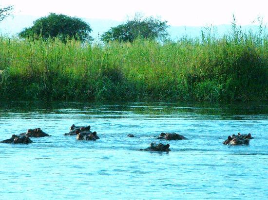 Kasane, Botswana: カバ一家