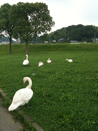 Префектура Тиба, Япония: 白鳥一家。