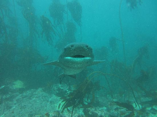 Pisces Divers: smiling Seven Gill Cowshark!