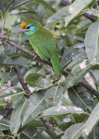 Hanthana House: Yellow-fronted Barbet