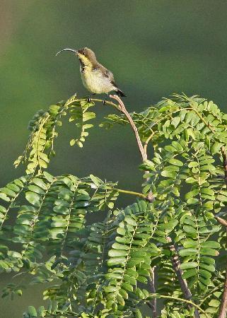 Hanthana House: Long-billed Sunbird