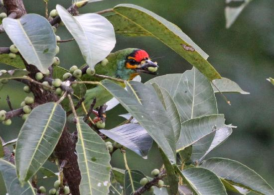 Hanthana House: Crimson-fronted Barbet