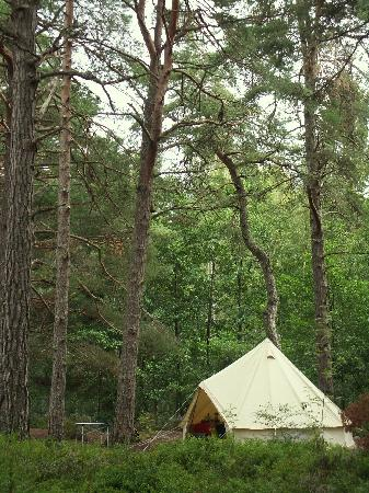 Rothiemurchus Camp and Caravan: Tall pine trees at Rothiemurchus