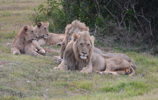 Addo Elephant National Park, Afrika Selatan: Magnificent to see lions so close up