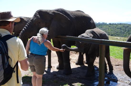 Knysna Elephant Park: Giving the baby elephant some food is brilliant