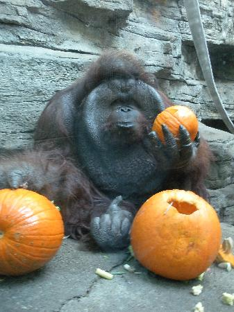 toledo zoo boomer gets a pumpkin filled with treats for halloween