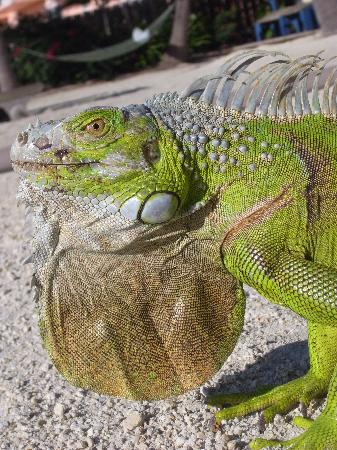 Island Bay Resort: Friendly Iguana on the Beach