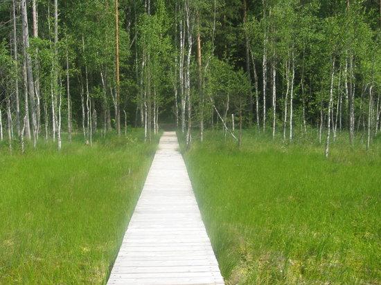Berezina Biosphere Reserve: raised boardwalk onto the swamp