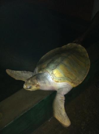 Wunderbar : черепаха альбинос