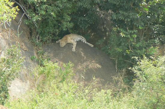 Ngulia Safari Lodge: sleeping leopard