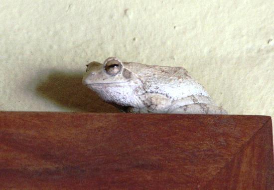 Tongabezi: our resident frog at the bird house