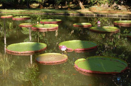 SSR Botanic Garden: Ninfee