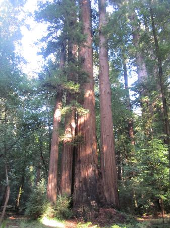Henry Cowell Redwoods State Park: trees