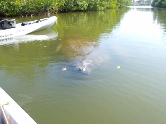 Fin Expeditions: Manatee getting a look at us.