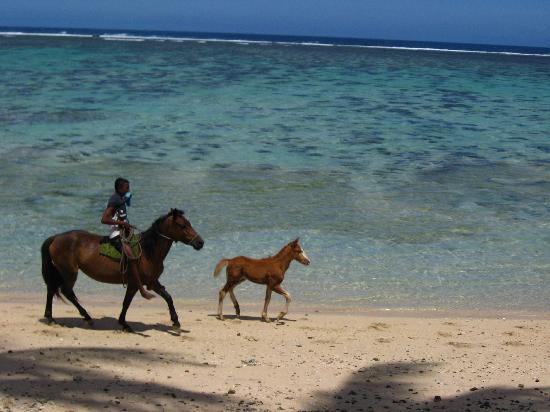 Fiji Hideaway Resort & Spa: Horses on the beach too