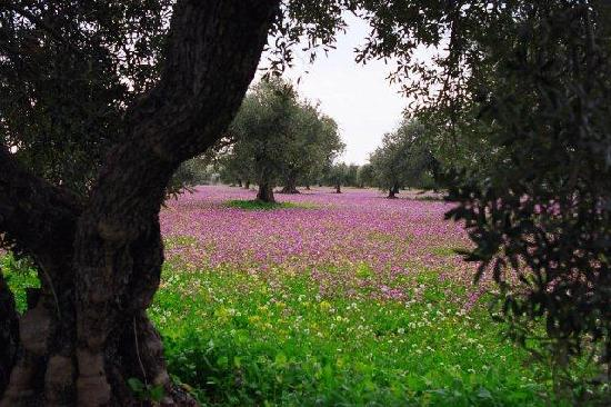 Among Olives and Carobs: Olive trees in springtime