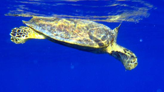 Gorgonia Beach Resort: Turtles outside the outer reef