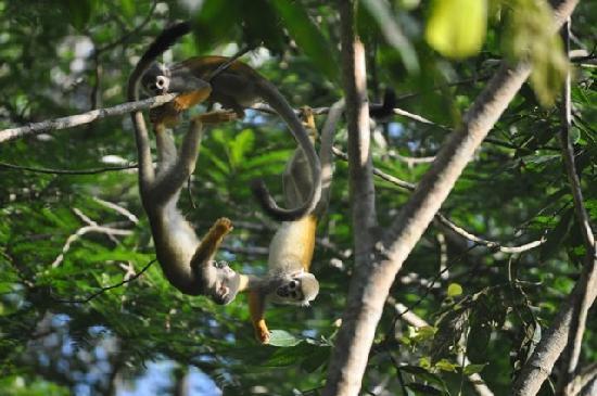 Napo Wildlife Center Ecolodge: Squirrel monkeys playing
