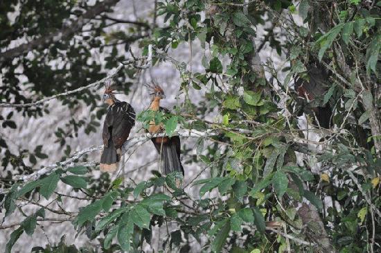 Napo Wildlife Center Ecolodge: 'Stinky Turkeys' (Hoatzin)