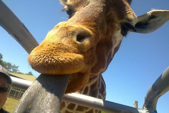 Africa Alive!: Feeding the giraffes