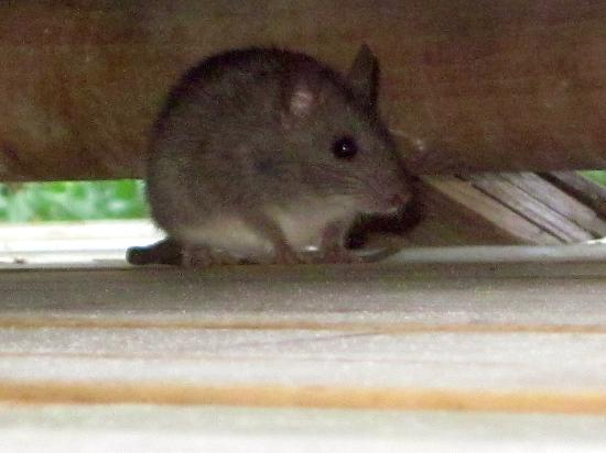 20 Degres Sud Hotel : Le petit Rat who terrorised the dining room