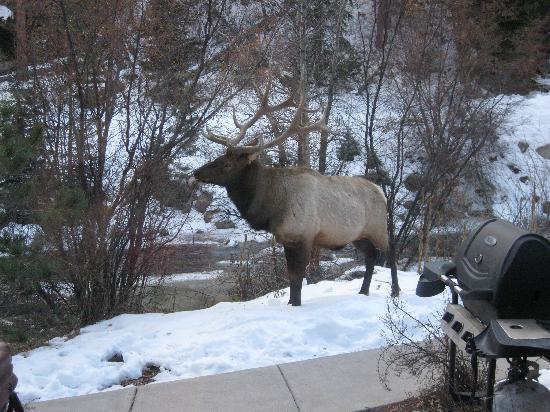 Estes Park Condos: The elk right on our front steps!