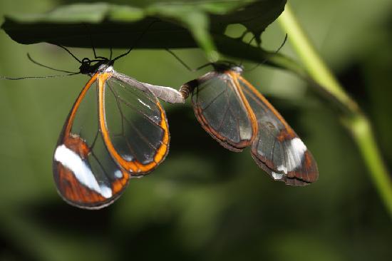 Villa Decary: Mating glass butterflies