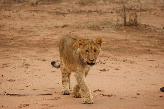 Garonga Safari Camp: A Lion cub