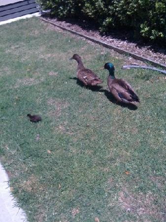 NRMA Sydney Lakeside Holiday Park: ducks walking around with there duckling