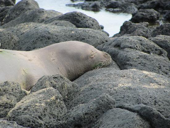Poipu Beach Park: Hawaiian Monk Seal, endangered Nov 2011