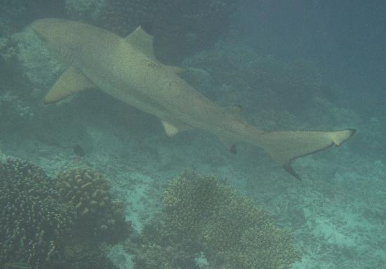 Kuramathi Island Resort: Tiburon haciendo snorkel