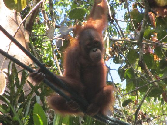 Semenggoh Nature Reserve : One of the younger orang utans