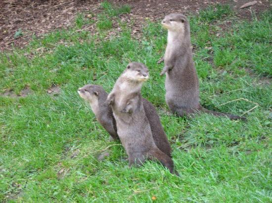Africa Alive!: feeding time for the otters