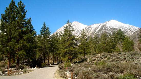 Inyo National Forest : trees