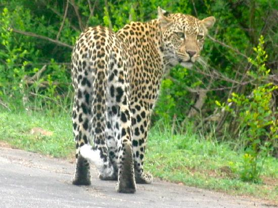 Buhala Lodge: Leopard on safari