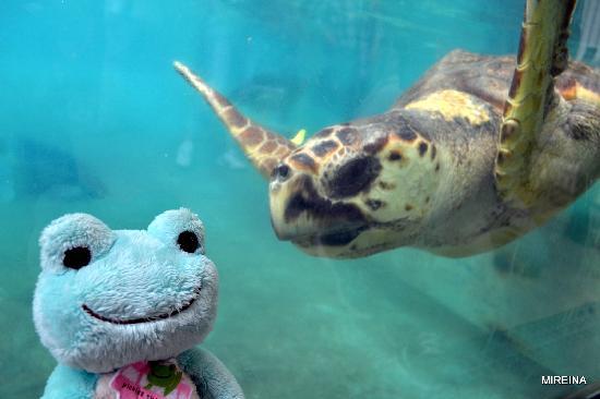 Enoshima Aquarium: ウミガメ 新江ノ島水族館