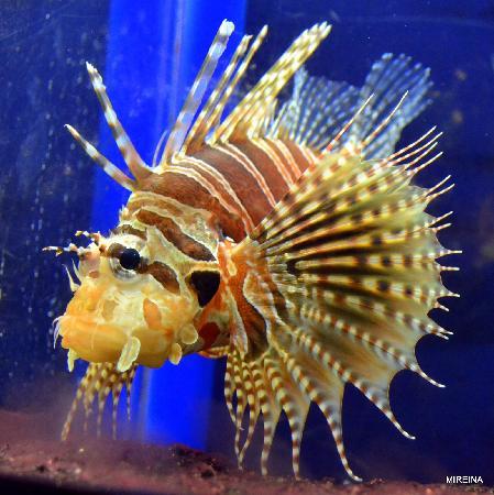 Enoshima Aquarium : ミノカサゴ 新江ノ島水族館