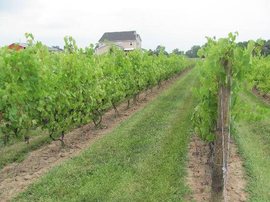 New Vines Bed & Breakfast: Backyard Vineyard