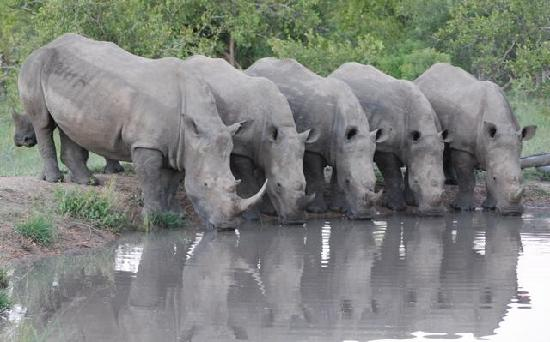Kruger National Park, South Africa: Rhinos at water hole