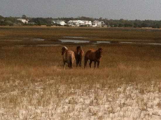 Pecan Tree Inn: Banker ponies on Carrot Island