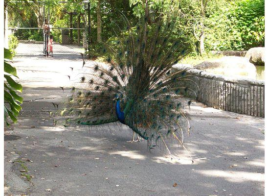 Davie, Floride : peacock showing off at Flamingo Gardens